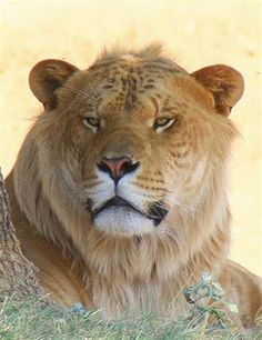 Liger Samson Lifespan was of 13 years. This lifespan for a liger is very normal indeed. Surviving In The Wild, Zebras, Big Cats, Lions, Survival, Creatures, Canning, Animals, Animaux