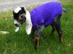 From Little Brown Farm's Whidbey Island gallery. I just want to HUG this little goat and play with its ears