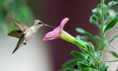 Attracting Hummingbirds to the Backyard  Garden.