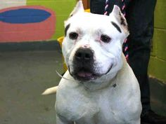 TO BE DESTROYED MON. 11/03/14 Brooklyn Center -P  BLANCO - A1018378 **AVERAGE HOME**  MALE, WHITE / BROWN, PIT BULL MIX, 8 yrs OWNER SUR - ONHOLDHERE, HOLD FOR ID Reason MOVE2PRIVA  Intake condition EXAM REQ Intake Date 10/22/2014, From NY 11428, DueOut Date 10/22/2014, I came in with Group/Litter #K14-199339.