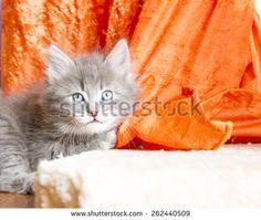 #blue #puppy of #siberian #cat - new on @shutterstock