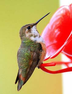 Very Rare Visitor ~Rufous Hummingbird | Flickr : partage de photos !