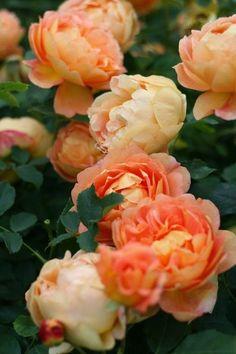 ~The Lady of Shalott - English Rose