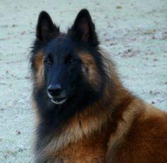 Fidji de la Collines des Vagabons (Dayala de la Colline des Vagabons x Ch Clovis du Bois du Tôt) #Tervueren #bergerbelge #sheepdog