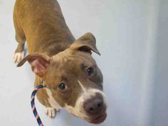SAFE 9-20-2015 --- Manhattan Center CARDELIA – A1051486  FEMALE, BR BRINDLE / WHITE, PIT BULL MIX, 5 mos STRAY – STRAY WAIT, NO HOLD Reason STRAY Intake condition UNSPECIFIE Intake Date 09/14/2015