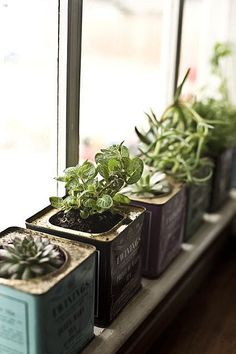 Succulents and herbs planted in vintage tea tins, placed on kitchen window sill.