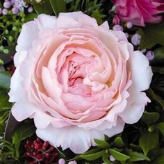Rose Keira 45cm - each rose is subtly different, blending blush pinks