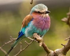 An amazing bird... would give Joseph's coat a run for it's money (photo by Graham Morgan into our photo competition)