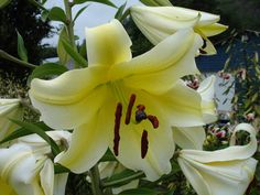 'All guides on How to Plant Lily Bulbs'