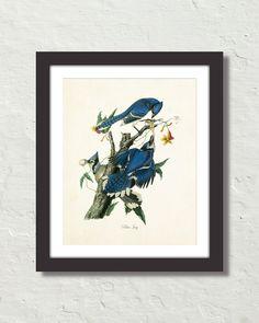 VINTAGE AUDUBON BLUE JAY CANVAS ART PRINT – Belle Maison Art