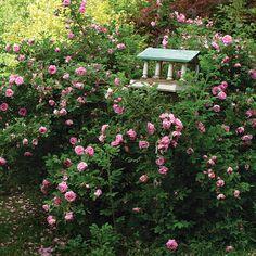 Rosa rugosa'Wasagaming' ('Wasagaming' rugosa rose) - Fine Gardening Plant Guide