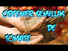 Como Conseguir Semilla De : Tomate || Semillas Organicas || La Huertina De Toni
