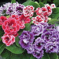 Flor Gloxínia