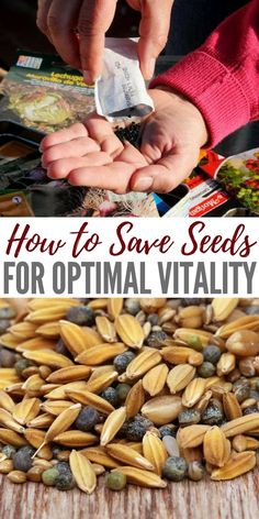 How to Save Seeds For Optimal Vitality How to Save Seeds For Optimal Vitality - This article links to a great seed saving chart about times and conditions. This resource in itself is very valuable. What makes this article great is it comes from people who Aquaponics Fish, Aquaponics System, Hydroponics, Aquaponics Greenhouse, Growing Vegetables, Growing Plants, Growing Tomatoes, Saving Seeds From Vegetables, Vegetables Garden
