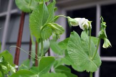 Edible Gardening 101: How to Harvest Pea Shoots | Vegetarian Times