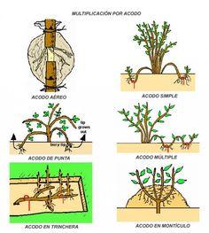 #SabíasQue… Un acodo es una técnica de reproducción asexual de las plantas que consiste en formar nuevos ejemplares a partir de una o varias ramas de una planta madre, sin separarlas de ésta, haciendo que le broten raíces. Una vez reproducidas las raíces... Lee más dando click en la imágen