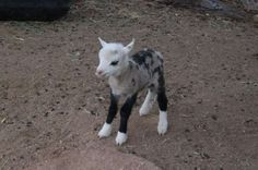 Hybrid Animals Sheep-goat Also called a 'geep' or 'shoat', this cross between a sheep and a goat are quite rare.