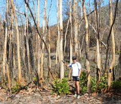Fires are part of the natural ecology and are often started by lightning strikes. Those produced by man have the same effect as natural fires, triggering a genetic survival response by trees. The burned parts of the tree may or may not be dead, but the new sprouts will eventually take over.