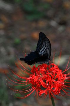 striking - black butterfly on red flower