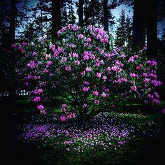 kongobuji #rhododendron #kongobuji #koyasan #石楠花 #しゃくなげ #金剛峯寺 #高野山  2017/05/16 23:47:03