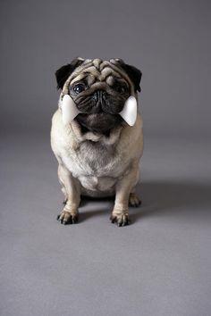 Pug Dog Holding Toy Bone