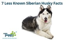 Learning about Siberian husky facts will certainly educate you about some of the finer points of this truly unique canine breed.