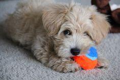 Adult, female red moodle/maltipoo! Doggie cuties