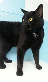 Prattville, AL - Domestic Shorthair. Meet Thunder 21998, a cat for adoption. http://www.adoptapet.com/pet/12479150-prattville-alabama-cat