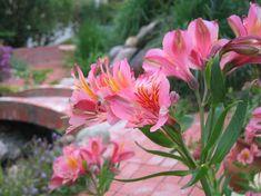 Fresia (freesia) Gardens, Flowers, Plants, Floral, Garden, Plant, Royal Icing Flowers, Garden Types, Florals