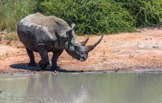Rhino - After a mudbath
