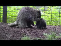 Baby Porcupine Meets Another Of His Kind For The First Time.