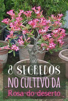 8 segredos no cultivo da Rosa-do-Deserto.