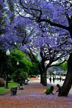 Ciudad de Buenos Aires. These beautiful flowers of jacaranda are all over the city in La Primavera.