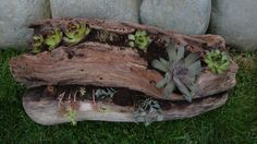 Where's the driftwood??  Living Wood        Driftwood planter with succulents   http://www.facebook.com/pages/Backyard-Diva/117483991696529