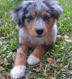 Cute Pom/Australian shepherd puppy mix