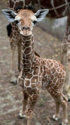 Girafa filhote atenta ao que se passa...