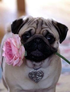 Pug dog with a pink rose in its mouth