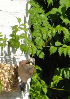 27-06 | Nu we het toch over vogels hebben: Geen havik, geen duif, maar een schichtige Vlaamse gaai is alle pinda's aan het wegroven. De meesjes zijn er altijd uren mee zoet. IJverig klampen ze zich vast aan het korfje, gevouwen van kippengaas. Vervolgens tikken ze zo lang tot de gaatjes groot genoeg zijn om bij de beloofde buit te kunnen. Ditmaal zag ik grote gaten en hoorde een hard getik. Ik griste het cameraatje van tafel en kon de roof-vogel nog net vastleggen voor hij weer gevlogen…