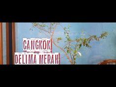Cangkok Delima Merah untuk Bahan Bonsai   Bahan Bonsai Delima 2020  Bons... Bonsai, Neon Signs, Bonsai Trees, String Garden