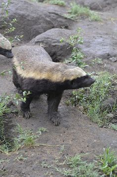 Stoffle the Honey Badger at Moholoholo rehab center South Africa. Worked here for some weeks. Funny Pics, Funny Pictures, Honey Badger, Adventure Tours, Wolverines, Endangered Species, Natural World, Beautiful Creatures, Mammals