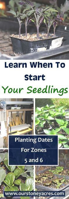 Learn when to start your seedlings in zones 5 and 6.  A Zone 5/6 Seed Starting Schedule can start as early as January with lettuce & other greens. March & April are the months for starting most of your crops!  Click on this pin to find our schedule for starting seedlings for your garden in zones 5 and 6.