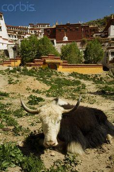 Long Horned Cow, is a yak in Tibet Dalai Lama, Asia, Tibetan Buddhism, China Painting, Mongolia, Photo Library, Royalty Free Photos, Nepal, Sheep