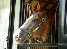 Reigning Horse of the Year #CaliforniaChrome settled in well today at his new home: Taylor Made Farm in Kentucky.