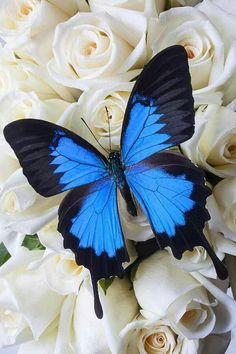 Blue butterfly white roses