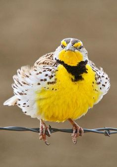 Meadowlark-dressed for Sunday!