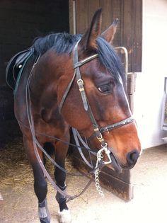 Horse - Trotter - Suerto on www.yummypets.com