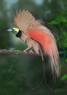 Raggiana Bird-of-paradise, (Paradisaea raggiana) is the national bird of Papua New Guinea; in 1971 this species, was made the national emblem & included on the national flag. It is distributed widely in southern and northeastern New Guinea, where its name is kumul. It is also known as cenderawasih. As requested by Count Luigi Maria D'Albertis, the epithet raggiana commemorates the Marquis Francis Raggi of Genoa.