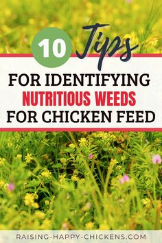 Learn how to identify the best weeds for chicken feed. The right weeds can add free nutritious value to your flocks' diet. Discover six of the best - and one that could be fatal to your flock. The definition of a weed is any plant that's not somewhere you want it to be. Some are invasive and need controlling, but many plants we've come to view as weeds are actually beneficial and nutritious. Continue reading... Raising Meat Chickens, Raising Backyard Chickens, Chicken Treats, Chicken Feed, Identifying Weeds, Purslane Plant, Weed Types, Laying Hens, All About Animals