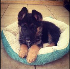 My baby Tahoe! German Shepherd Huskie mix ❤