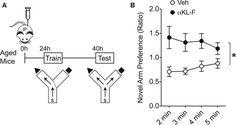 αKL-F, Delivered Peripherally, Acutely Enhances Cognition in Aged Mice - 2017 Leon, Cell. Focus: Aging and Cognition